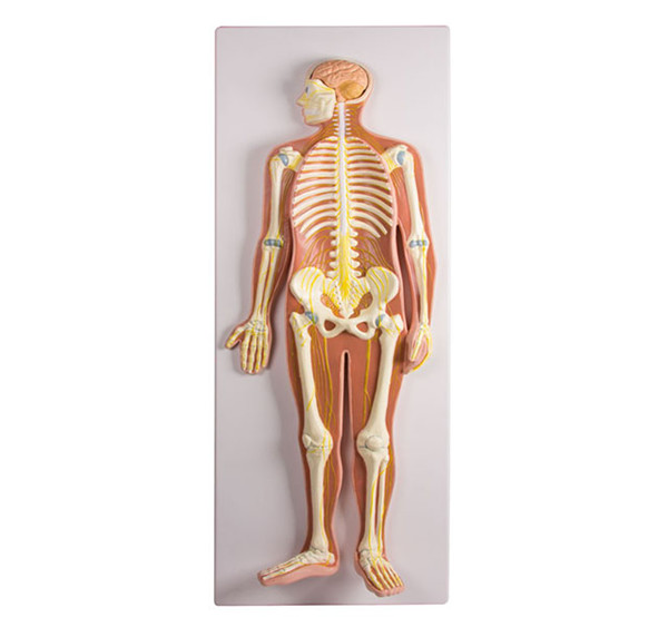 Human Nervous System Anatomical Medical Teaching Training Nerves