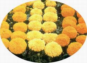 Dried Marigold Flower meal (pellet)