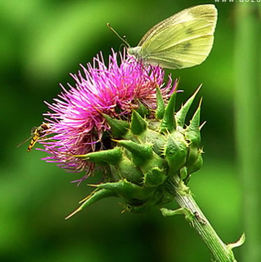 Organic Milk Thistle Extract Powder For